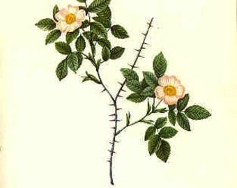 Redoute Botanical Rose Print  45