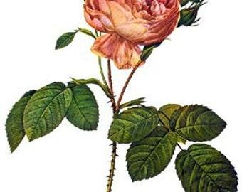 Redoute Botanical Rose Print  53
