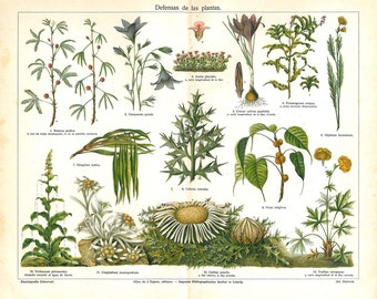 Antique Botanical Print 1920s Plants Defense Mechanism, Natural History Illustration, Color Lithograph