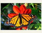 Monarch Butterfly on bright orange blossom handmade photo note card