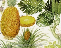 Pineapple Ceriman Sour Sop & Cherimoya Tropical Fruit Flower Chart Food Botanical Lithograph Illustration For Your Vintage Kitchen 97