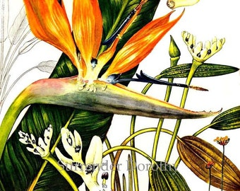 Birds Of Paradise Flowering Specimens South Africa Botanical Exotica 1969 Large Vintage Illustration To Frame 84