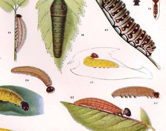 Corlis Calias Papilio Caterpillar Butterflies 1900 Entomology Edwardian Rotogravure To Frame II