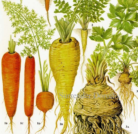 Carrot Parsnip Celeriac Chart Root Vegetable by ...