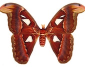 OVERSTOCK: Atlas Moth, Attacus atlas MALE Specimens Real Dried Moth Butterfly