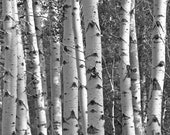 Aspen Trees, 8 x 10 Photograph Photo Art Nature Tree Forest Black and White B&W Landscape Birch White Bark Grove Woods Woodland - scarlettdesign
