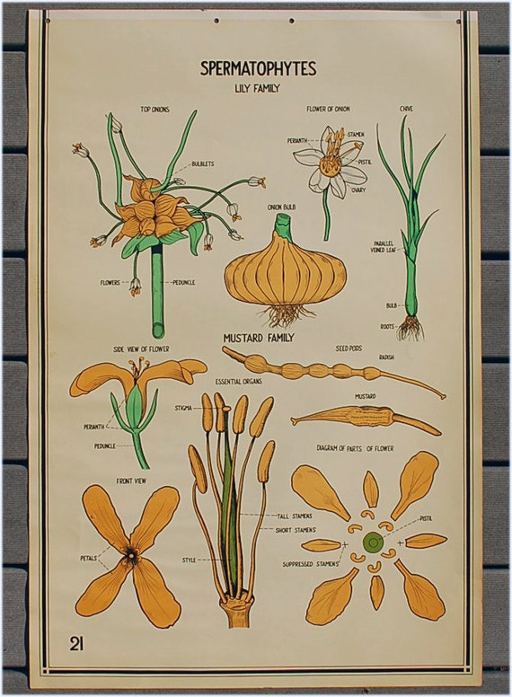 1941 science chart poster educational vintage Spermatophytes Lily and mustard family