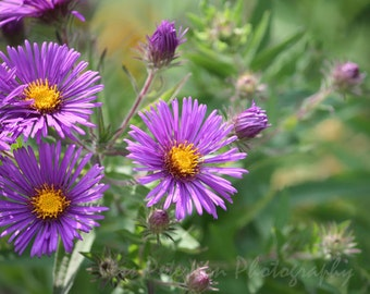 Flower photography Purple Asters Print Nature wall art. Green Yellow Purple Home Decor Floral Wall Art Print. 5x7, 8x10 , 5x7 matted to 8x10