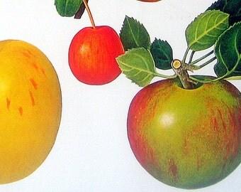 Apples Fruit Picture Vintage Cookbook Color Book Page Plate 1991