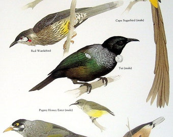 Birds - Common Melipotes, Cape Sugarbird, Red Wattlebird, Eastern Spinebill - Vintage 1980s Bird Book Plate Page