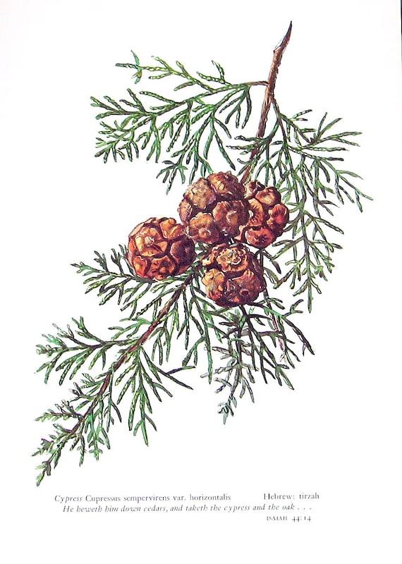 Cypress Cupressus Sempervirens Vintage 1957 Botanical Print