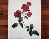Rosa Indica - Vintage floral Rose botanical print with Latin calligraphy