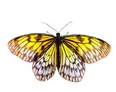 Butterfly print, lemon yellow, citrus, animal,nature photography, butterfly art, fine art photography, zoology, bugs
