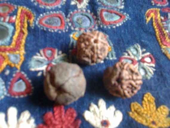 3 Natural Rudraksha as found in Nature - sacred beads