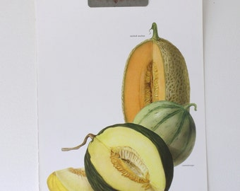 Vintage Print  - Melons  - Book Plate  - 1965