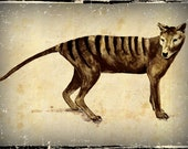 Tasmanian Tiger Thylacine Drawing By Cindy Watkins Photographic print on card. Blank Gift Card.