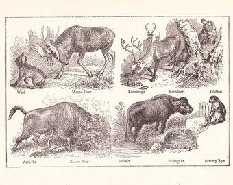 1902 Animal Print - Vintage Antique Home Decor Art Illustration for Framing 100 Years Old