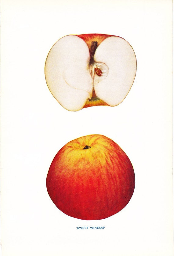1905 Fruit Print - Sweet Winesap Apple - Vintage Home Kitchen Food Decor Plate Plant Art Illustration Great for Framing 100 Years Old