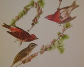 Vintage Purple Finch Print From 18 Best Loved Bird Paintings by Audubon, Ready to Frame, 9 x 12 inches