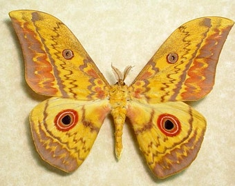Aurivillius Aratus Real Red Eyes Tribal Basket Weave Framed Silk Moth  8105