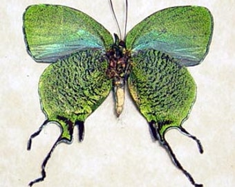 Arcas Imperialis Metallic Green Tailed Framed Butterfly 6246
