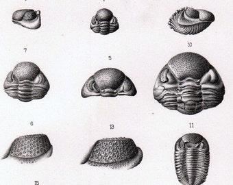 Antique Lithograph of Trilobytes and Other Fossils. Plate 7. Paleontology Plate Published in 1888