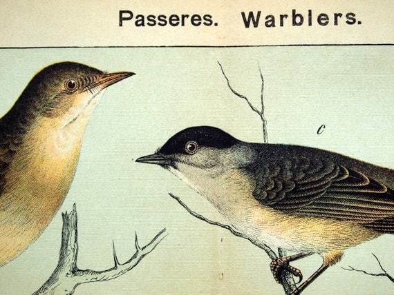 Antique Bird Print - Warblers - 1889 Chromolithograph
