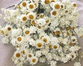 Ammobium dried floral LARGE 3-4 oz bunch-White wedding flower-Mini white strawflower-Corsage flowers-Dyed flowers