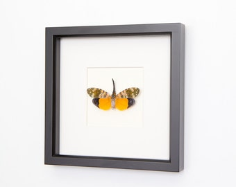 Real Framed Insect. nature inspired decor.  Lantern fly Taxidermy Display