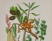 Antique Botanical print circa 1899 - by Anne Pratt