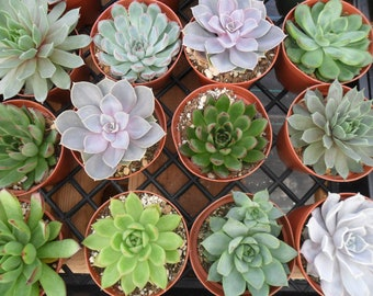 6 Large Succulent CUTTINGS, Rosette Shape, Succulent Bouquet, Wedding Decor, Centerpieces, From 4 Inch Pots