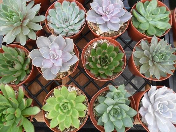 6 Large Succulent CUTTINGS, Rosette Shape, Succulent Bouquet, Wedding Decor, Centerpieces, From 4 Inch Pots
