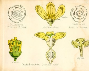 Melon, Antique Botanical Print, 1874, Squash, Gourd, Flower, Plate 38, Natural History, Vegetable Kingdom, Hand Colored or Black/White