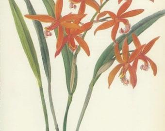 Vintage Flower Print, Red Orchid from Brazil, Botanical (85) Nat. History, Blossom Art, 1970