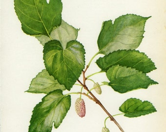 Vintage Tree Print, White Mulberry, Botanical  Book Plate 77, Ornamental, Nature, Landscape, Frameable Art, 1969, Choc