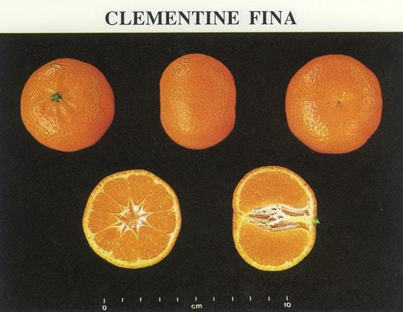 Vintage Fruit Picture, Spanish Oranges, Clementine Fina, Oroval, Citrus Fruit, Frameable Art, Kitchen, Home Decor