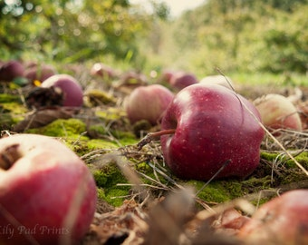 Fall Photograph -  The Perfect Apple  fine art print - New England photograph, apple orchard, fall, nature