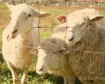 Sheep photography - Three Hungry Sheep fine art photo - New England photography, farm, rustic, country,nursery decor, white, pink