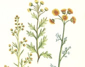 mustard yellow vintage wild flowers floral art print book plate engraved lithograph picture pheasants eye blooming bloom green nature garden