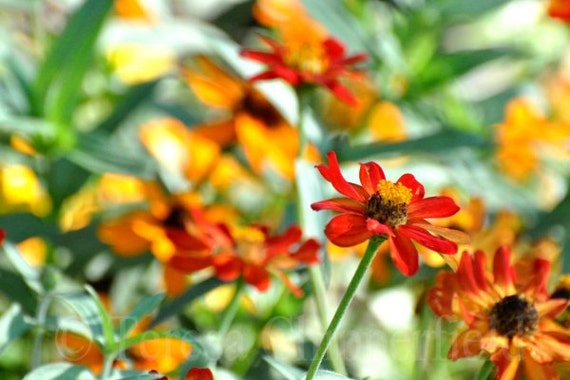 Summer Vista, Red Zinnias, Fine Art Flower Photo Print, Countryside, Napa California, Orange Rural Home Decor, 8x12,12x18,16x24, Garden Art