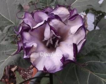 Double Purple Datura Plant