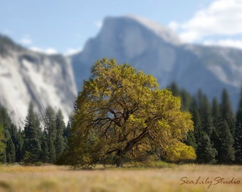 The Dreaming Tree : nature photography yosemite half dome cooks meadow home decor great outdoors mountain 8x10 11x14 16x20 20x24 24x30