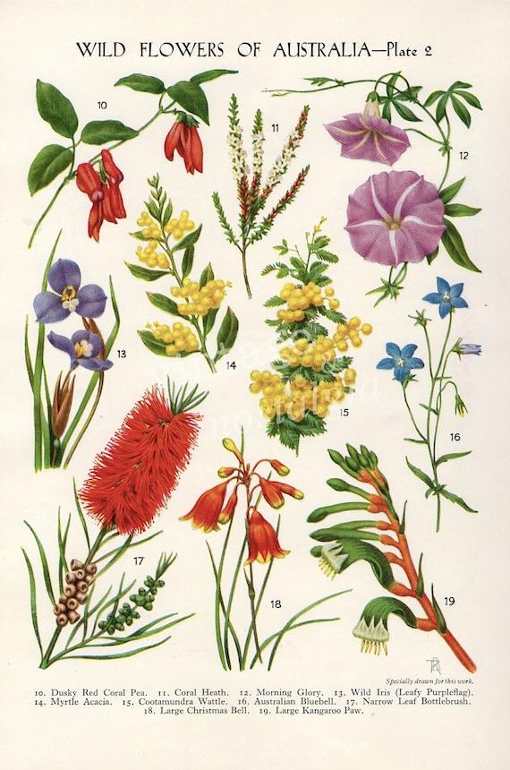 Vintage botanical flower print australian wild flowers wattle