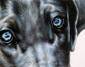 Weimaraner art original colored pencil drawing grey dog portrait with blue eyes