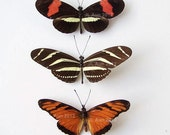 Real Butterfly Specimen, Unmounted, Ready Spread, Set of 3 Heliconids