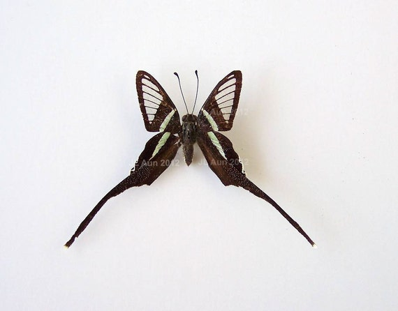 Real Butterfly Specimen, Unmounted, Ready Spread, The Green Dragontail Butterfly