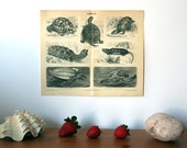 Turtles Antique Original 1896 Lithograph from Vintage Dictionary