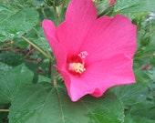 Hardy Hibiscus Seeds  Hibiscus moscheutos Rose Mallow - Home Grown Perennial