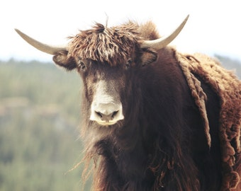 The Yak HeadShot no 3 FineArt Photographic Art Print, Wall Art for Home decor, 12 Sizes Available from Prints to Mounted Canvas