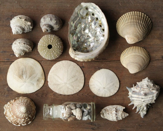 Vintage Seashell Collection - Natural History Decor, Curiosity Cabinet Specimens, Lot of over 15 Shells